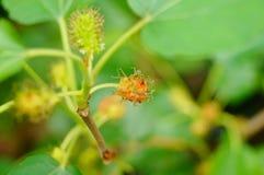Рост плодоовощ шелковицы в ветвях шелковицы Стоковое Фото