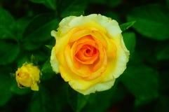 Рост роз в саде Стоковое Изображение RF