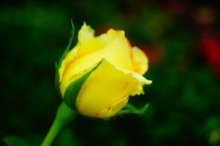 Рост роз в саде Стоковое фото RF