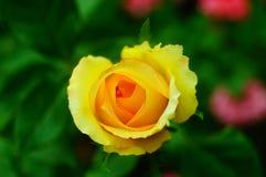 Рост роз в саде Стоковая Фотография