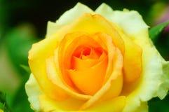 Рост роз в саде Стоковое Фото