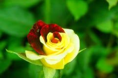 Рост роз в саде Стоковое Изображение