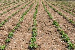 Рост саженцев фасоли, предыдущая весна Стоковая Фотография