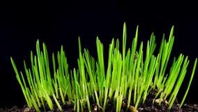 Рост свежей новой зеленой травы сток-видео