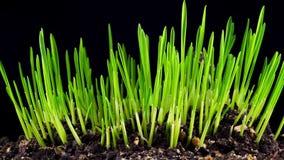 Рост свежей новой зеленой травы видеоматериал
