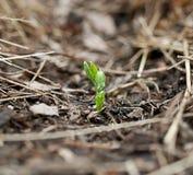 Рост сеянца гороха новый Стоковые Изображения RF