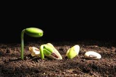 Рост сеянца от семени Стоковое Изображение