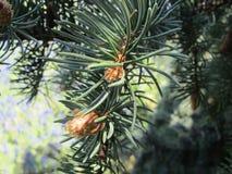 Рост сосны весны с новыми младенческими конусами стоковое фото rf