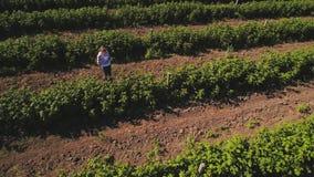 Рост фермера рассматривая клубник на поле видеоматериал