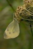 Рос-покрытая бабочка капусты Стоковые Изображения