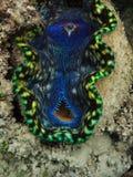 рот гиганта крупного плана clam Стоковые Изображения RF
