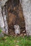 Рот котенка canadensis рыся рыся Канады открытый Стоковое Фото