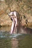 Рот отверстия бегемота широко в спокойном озере Стоковое фото RF