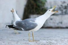 Рот отверстия чайки Стоковые Изображения