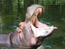 рот hippopotamus открытый Стоковое фото RF