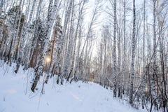 Роща белой березы в зиме стоковое изображение