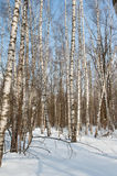 Роща березы в зиме Стоковые Фотографии RF