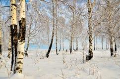 Роща березы в зиме Стоковое Изображение