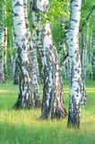 Роща березы в лесе в раннем утре, стволах дерева конце-вверх, лете Стоковая Фотография RF