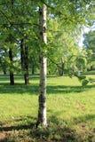 Роща березы в предыдущем утре весны в солнце стоковые фотографии rf