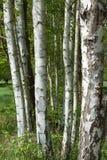 Роща березы в Spreewald Стоковые Изображения