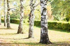роща березы зеленая Стоковые Изображения RF
