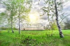 Роща березы на заходе солнца стоковые фото