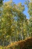 роща березы осени стоковое изображение