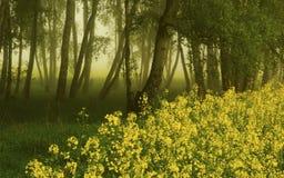 Роща березы с рапсом семени масличной культуры Стоковое фото RF
