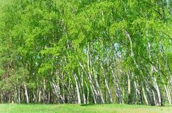 Роща березы, яркие ые-зелен листья Стоковое Изображение RF