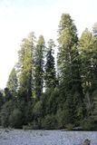 Роща высоких деревьев Стоковые Изображения