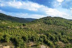 Роща в горах Prades, Испания деревьев фундука Стоковые Изображения RF