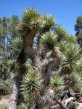 Роща дерева Иешуа Стоковые Фотографии RF