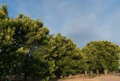 Роща дерева ягоды мыла в юго-западе Стоковые Фотографии RF