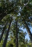 Роща дерева Kauri Стоковое фото RF