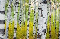 Роща деревьев в осени с испещрятьой белой корой, горизонтальная стоковое фото