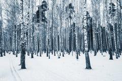 Роща дерева березы Стоковые Изображения