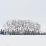 Роща дерева зимы Стоковая Фотография