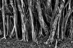 Роща деревьев мангровы стоковое фото