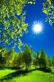 роща зеленого цвета листва березы может Сибирь стоковые фотографии rf