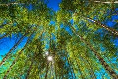 роща зеленого цвета листва березы может Сибирь стоковая фотография
