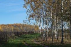 роща зеленого цвета листва березы может Золотая осень в лесе Стоковое Изображение RF