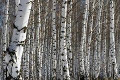 роща зеленого цвета листва березы может Стоковые Фотографии RF