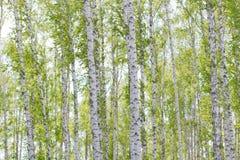 роща зеленого цвета листва березы может Стоковая Фотография RF