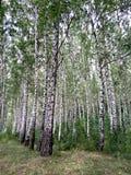 роща зеленого цвета листва березы может Стоковая Фотография