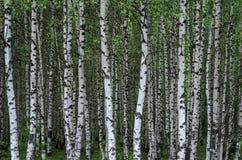роща зеленого цвета листва березы может Стоковое Изображение