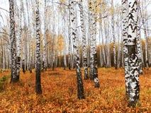 роща зеленого цвета листва березы может Стоковое Изображение RF
