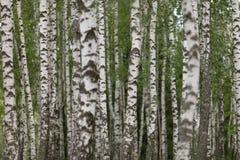 роща зеленого цвета листва березы может стоковые фото