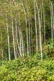 Роща ольшаника Стоковое Фото