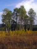 роща осины Стоковое Фото